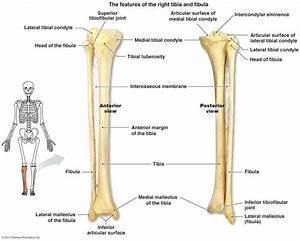 Diagram  Human Leg Diagram Label The Parts