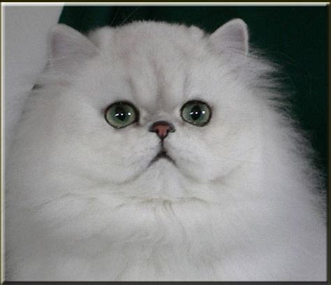 127 Best Persian Cats Images On Pinterest