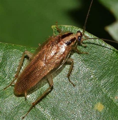 verbotene mittel gegen maulwurf bilder kakerlaken erkennen die 3 bekanntesten schabenarten