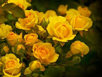Yellow Roses Expression Wallpapers13