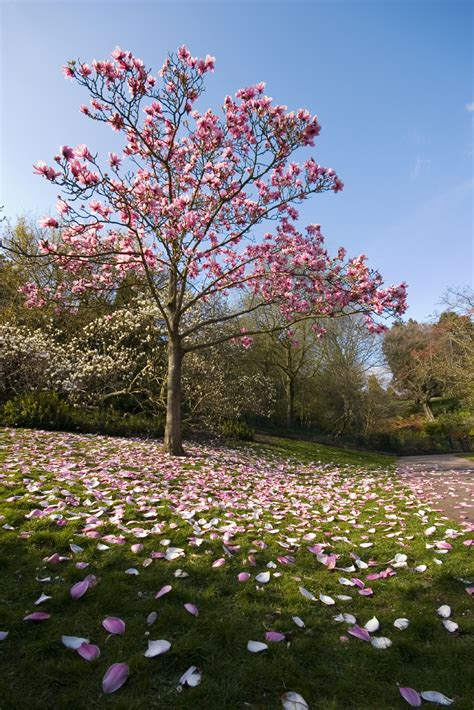 varieties of magnolia trees magnolia tree types learn about common varieties of magnolia trees