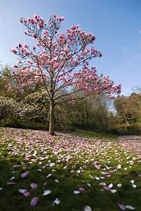 Magnolia Tree Types – Learn About Common Varieties Of ...