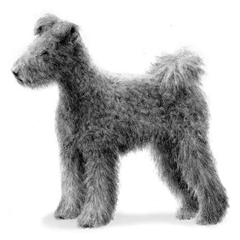 pumi dog breed information