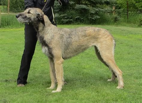 wolfhound non shedding wolfhound puppies pictures breeds picture