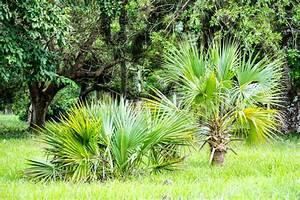 Palmenarten Für Draußen : hanfpalme auspflanzen so pflanzen sie sie in ihren garten ~ Michelbontemps.com Haus und Dekorationen