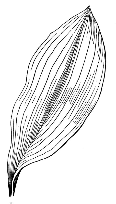 parallel veined leaf clipart