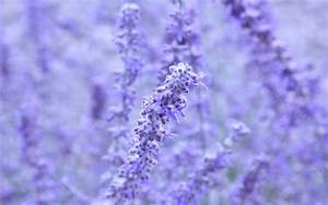 Lavender wallpaper - 870704