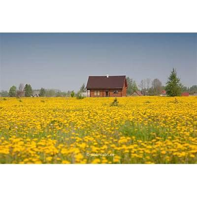 Dandelion Field Spring Tartu County Estonia Europe