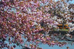 Cherry Blossom 2013 Washington DC