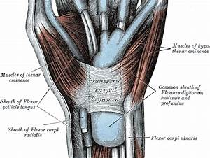 Flexor Retinaculum of Hand