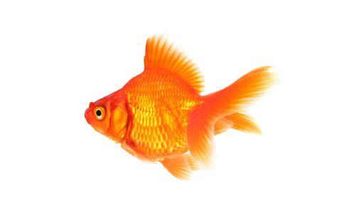 Free Goldfish Wallpaper download - Animals Town