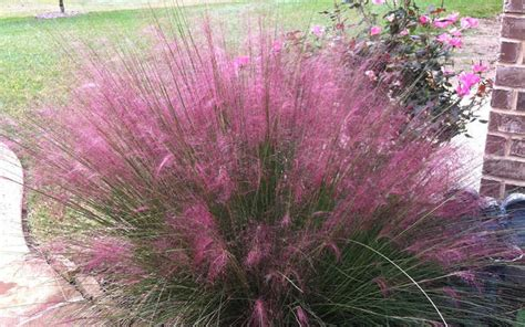 where to buy purple grass buy pink muhly grass for sale online from wilson bros gardens