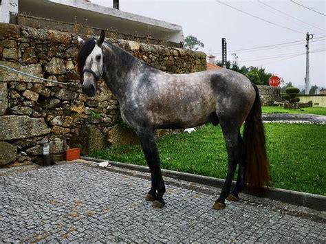 lusitano cavalo vendo registado livro azul clasf
