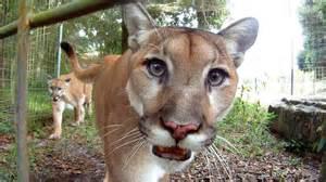 big cat rescue ta gopro feeding cougars