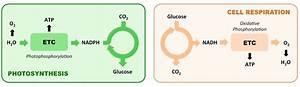 34 Photosynthesis Vs Cellular Respiration Venn Diagram