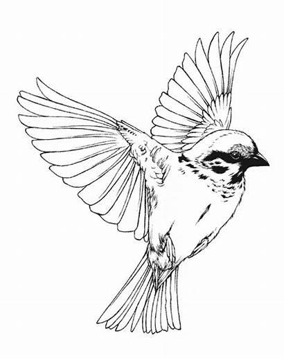Bird Drawing Song Illustration Cardinal Birds Flying