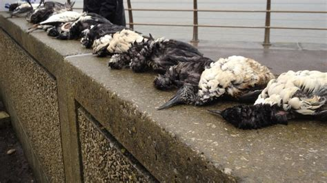 bbc news in pictures seabird rescue on south coast
