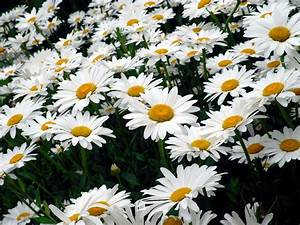 Daisy Photography Tumblr | Best HD Wallpapers