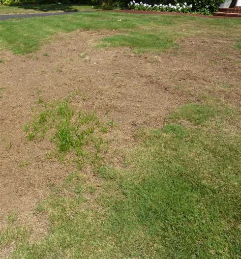 zoysia grass problems lawn water wet summer areas watering pests low garden improper collecting killed during gardening