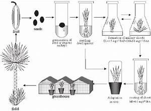 Scheme of clonal propagation of Yucca aloifolia L. tissue ...