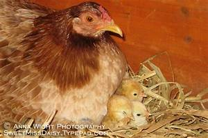 Hatching Baby Chicks