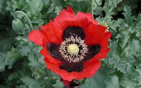 pics of poppy plants opium poppy