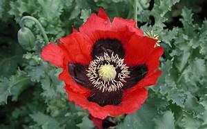 Opium Poppy: History