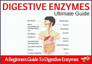 Digestive Enzymes  A Beginner U0026 39 S Guide
