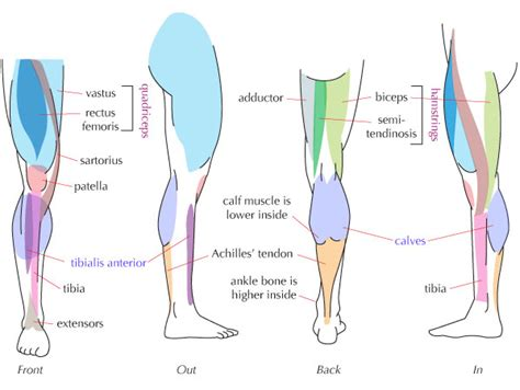 This is the largest of the three compartments of the thigh. Human Anatomy Fundamentals: Muscles and Other Body Mass