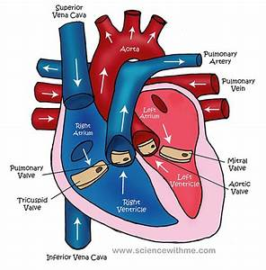 Diagram Of The Circulatory System For Kids