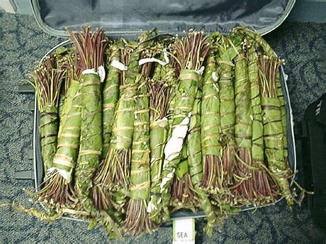 What Is Khat  Why The Herbal Stimulant 'khat' Was Banned