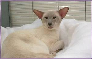 Lilac Point Siamese Cats - Siamese Cats and Kittens