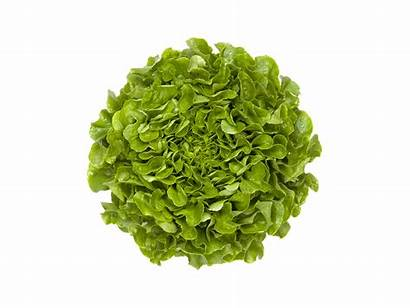 Salanova Crispy Grow Natural Occurring Lettuce Oak