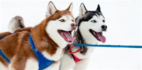 husky coat colors siberian husky colors