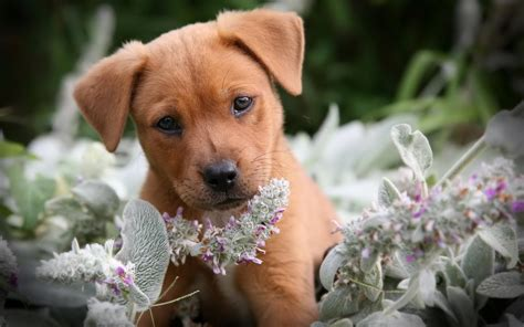 Puppy Desktop Background by Puppy Animal Hd Wallpaper High Quality Wallpapers