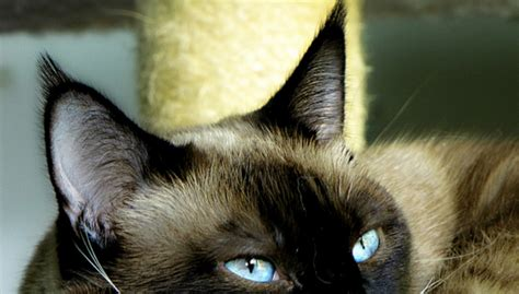 cats ears four top tips for looking after your cat s ears trusty