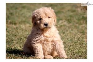 Happy Goldendoodle Puppy