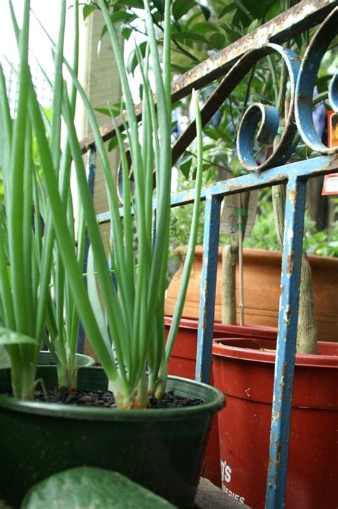 Container Gardening Onions  Hawe Park