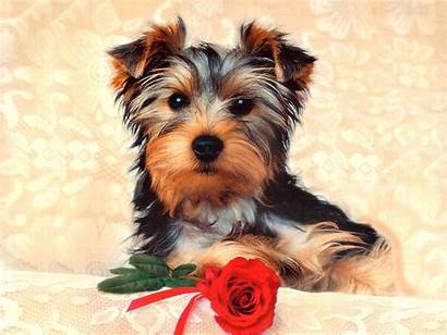 Puppy Dog Dogs Desktop Wallpapers Backgrounds Animals