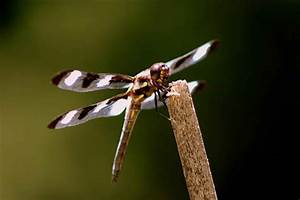File:Twelve spotted skimmer dragonfly insect on a branch ...