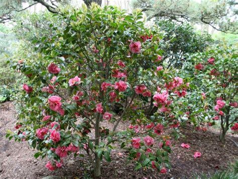 233 lia des arbustes incontournable pour fleurir l hiver