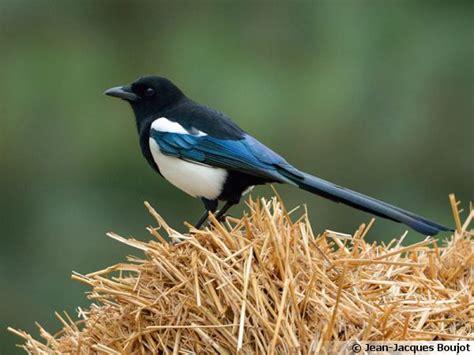 cuisiner le gibier la pie bavarde un oiseau bruyant