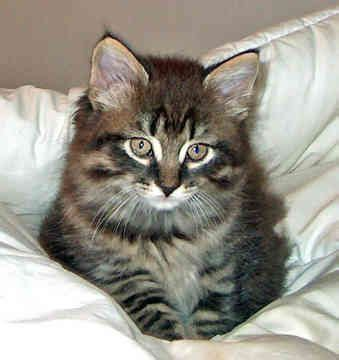maine coon cats images  pinterest beautiful cats kitty cats  fluffy