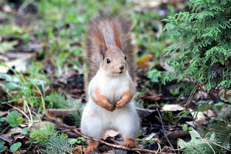 Images For Up Of Squirrel On Field 183 Free Stock Photo