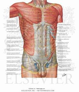 Innervation Of Abdomen And Of Perineum Nerves Of Anterior