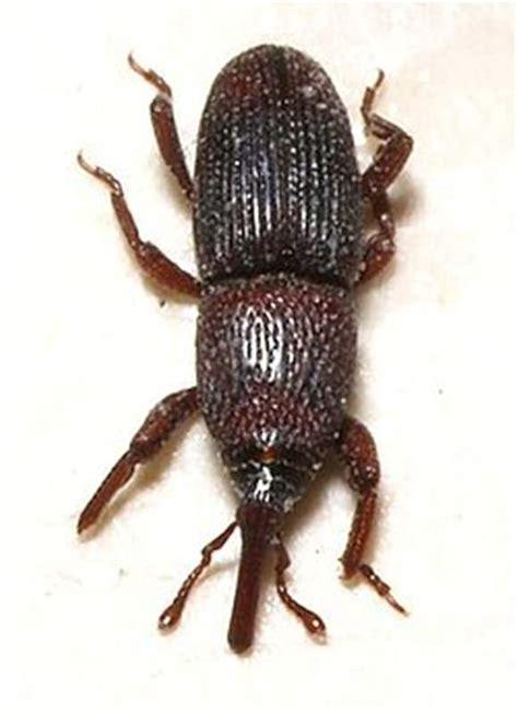 weevil bug factsheet sitophilus granarius linnaeus 1875 granary weevil