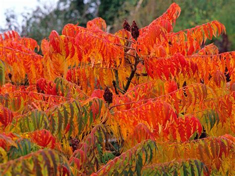 what tree leaves turn in fall sumac trees are unsung garden trees hgtv