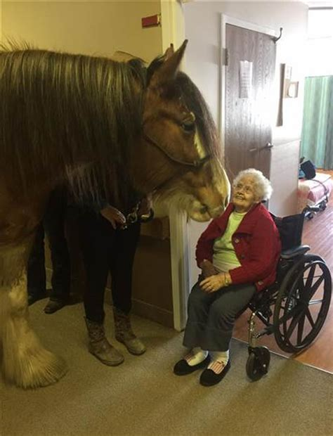 clydesdale horse nursing pet therapy village harbor senior east horses visiting neigh amazing living week steroids bringing roams halls cheering