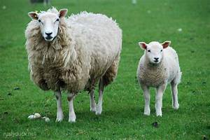 W M : sheep 002 wm rusty duck ~ Eleganceandgraceweddings.com Haus und Dekorationen