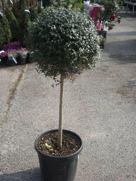 ligustrum jonandrum plantes arbres haies arbustes plantes aromatiques arbres